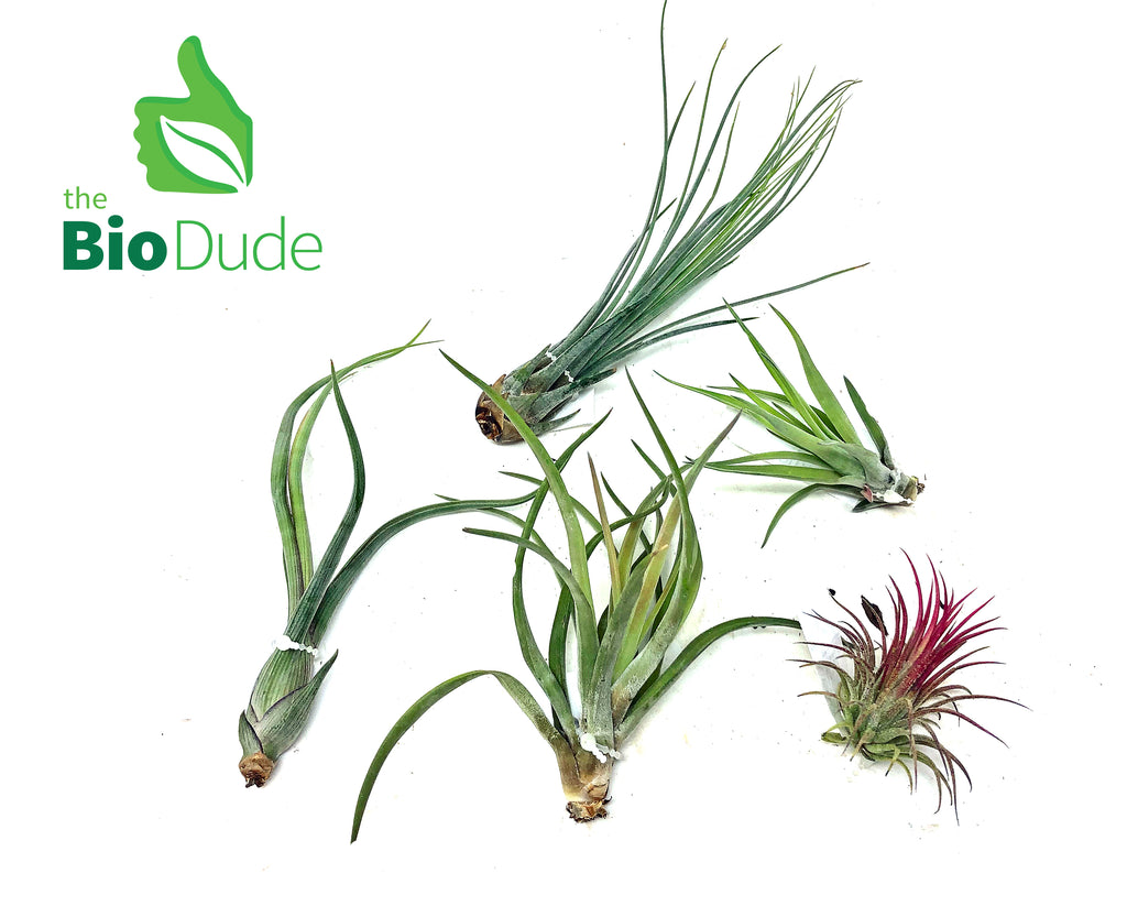 Tillandsia Bromeliad 5 pack *The Dude's Choice*