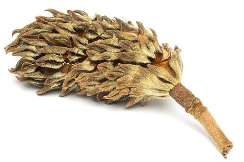Buy Magnolia Seed Pod At The Bio Dude For Only 099