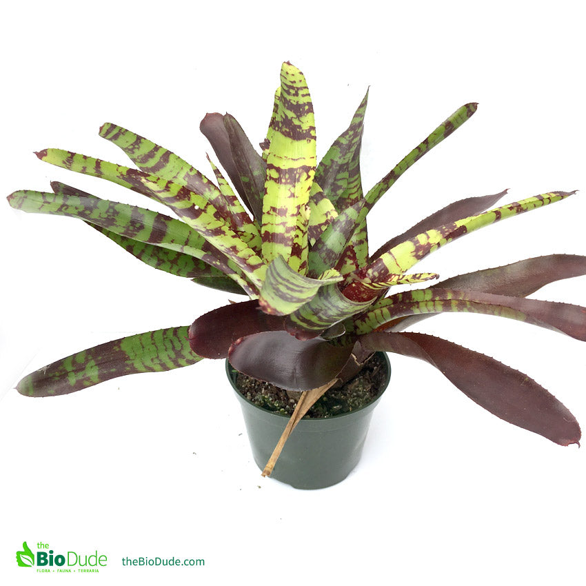 Single Bromeliad Offset FREE SHIPPING