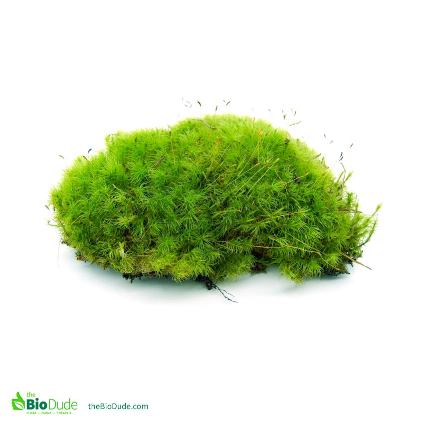 Freshly Picked Live Moss For Sale The Bio Dude