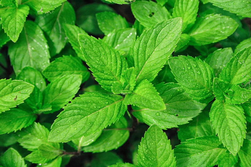 Peppermint: Why You Should Grow It