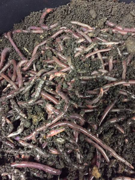Worms -1lb - African Nightcrawlers - simplegrowsoil