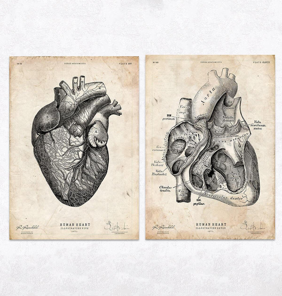 Anatomical heart poster by codex anatomicus
