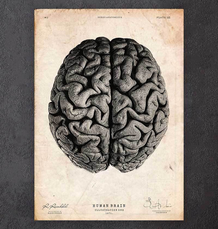 Human brain - Neuroanatomy art print