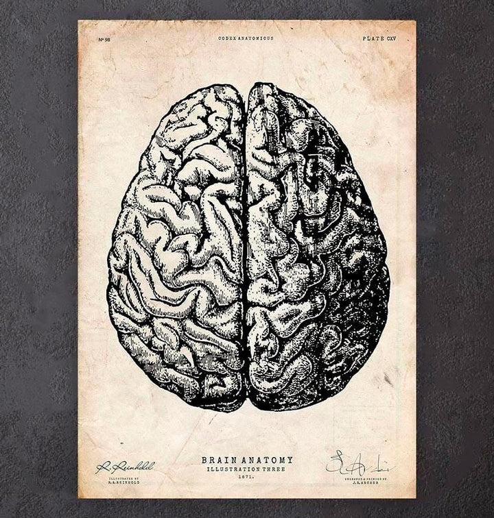 Brain anatomy drawing