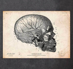 Human head anatomy print