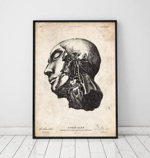 Head anatomy drawing by Codex Anatomicus