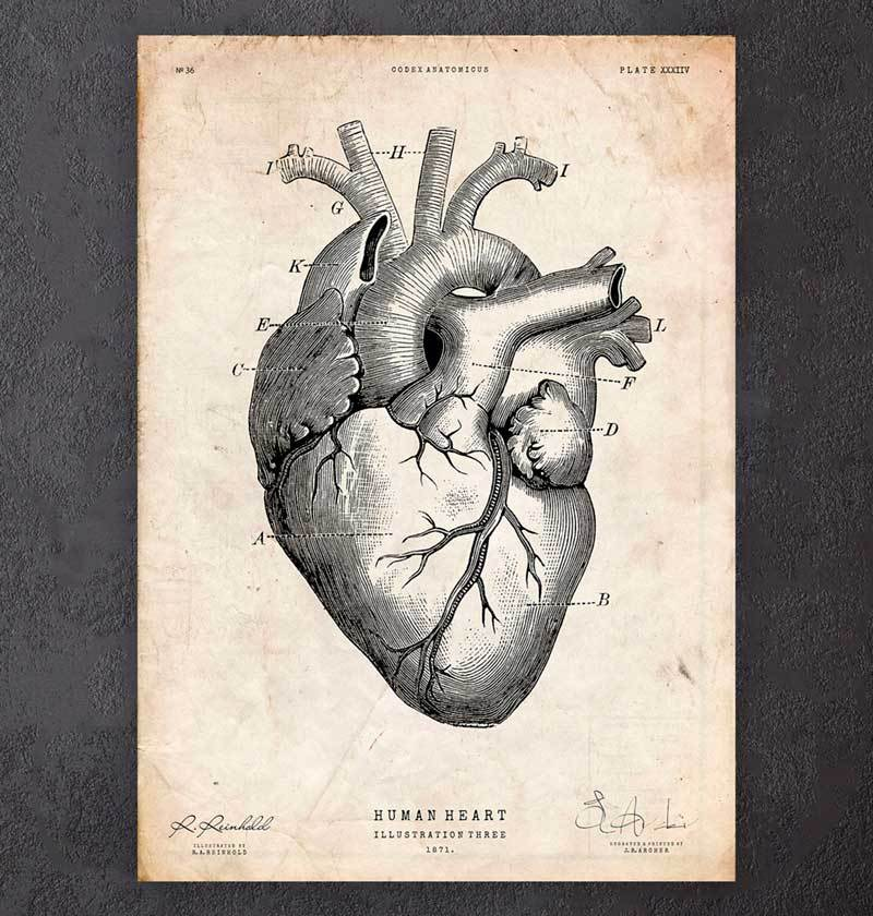 Heart anatomy art print
