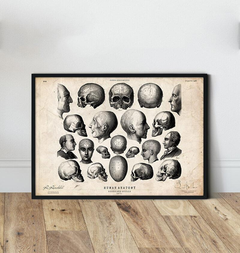 Heads and skulls vintage anatomy poster by codex anatomicus