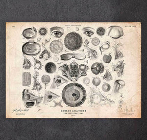 Eye anatomy print II