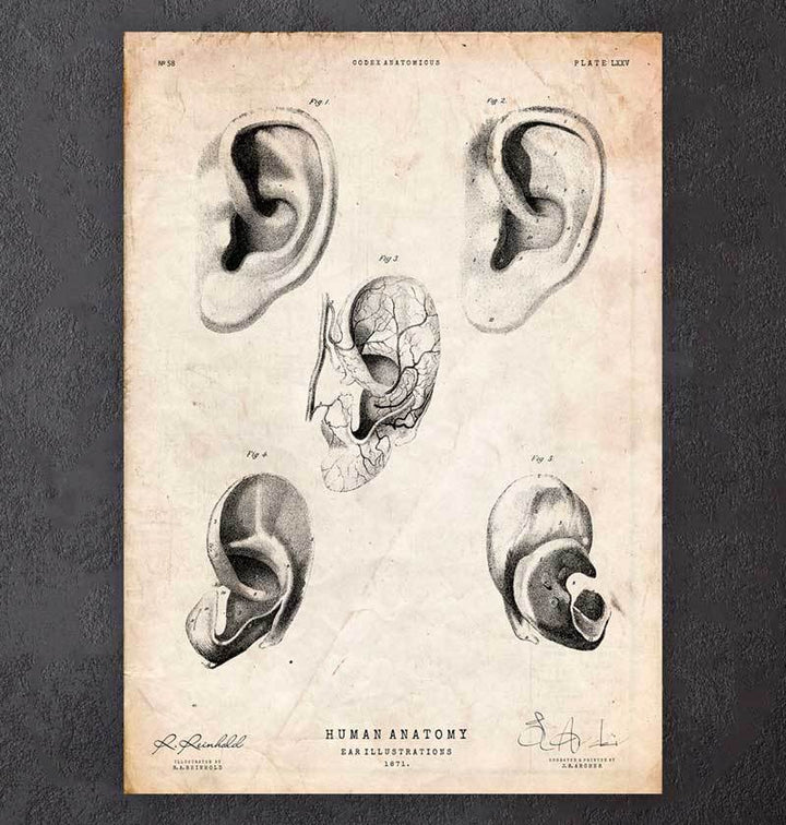 Ear anatomy poster