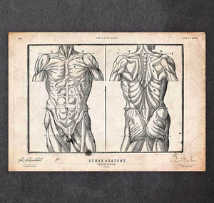 Upper body anatomy art