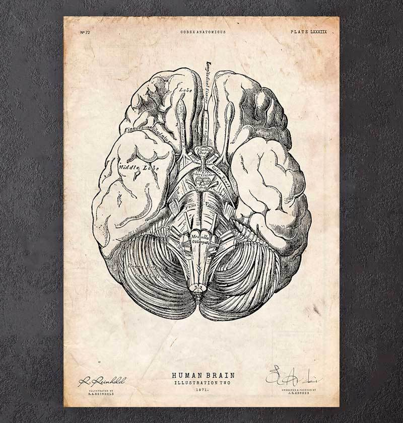 Brain parts anatomy poster