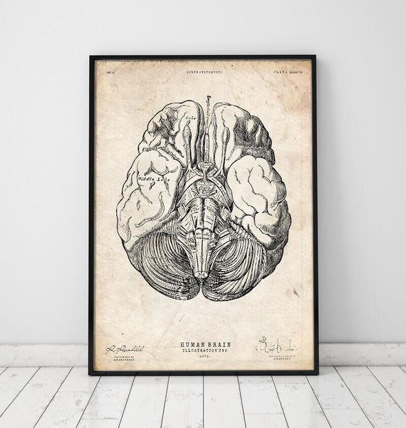 Brain Anatomy Anatomy Art Codex Anatomicus