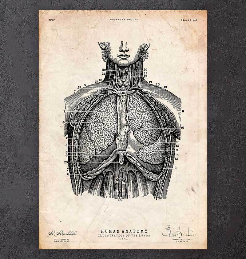 Lungs anatomy poster
