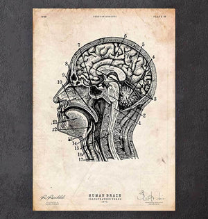 Brain sections anatomy poster
