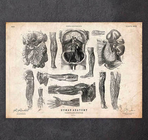 Anatomy diagram poster