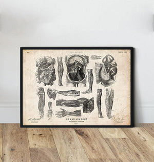 Anatomy diagram poster by Codex Anatomicus