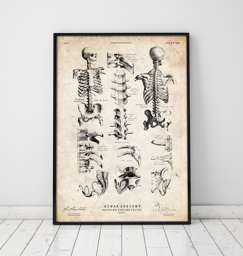 Human skeleton chart by Codex Anatomicus