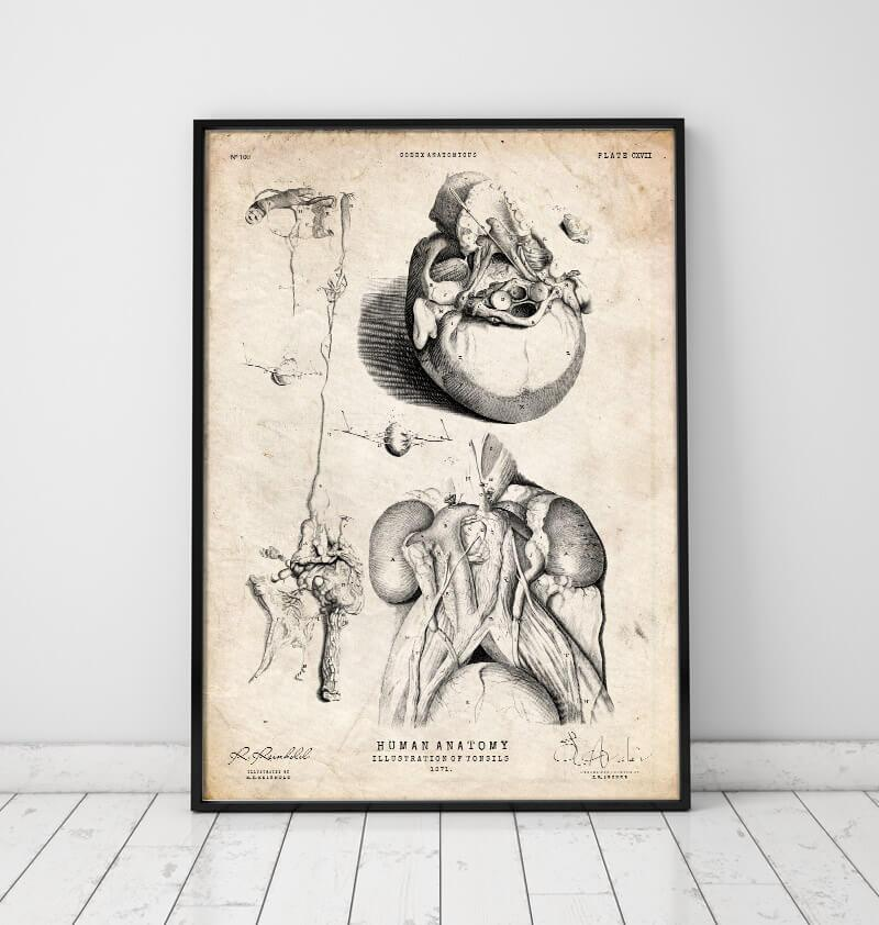 Tonsils vintage anatomy poster by Codex Anatomicus