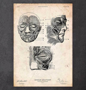 Face anatomy art