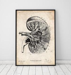 vintage anatomy poster of a kidney