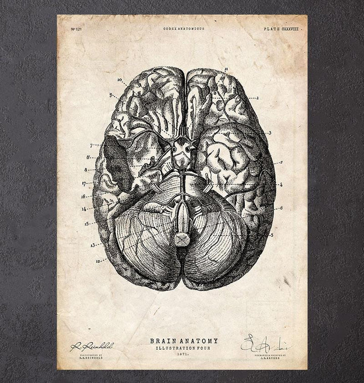 Brain anatomy art