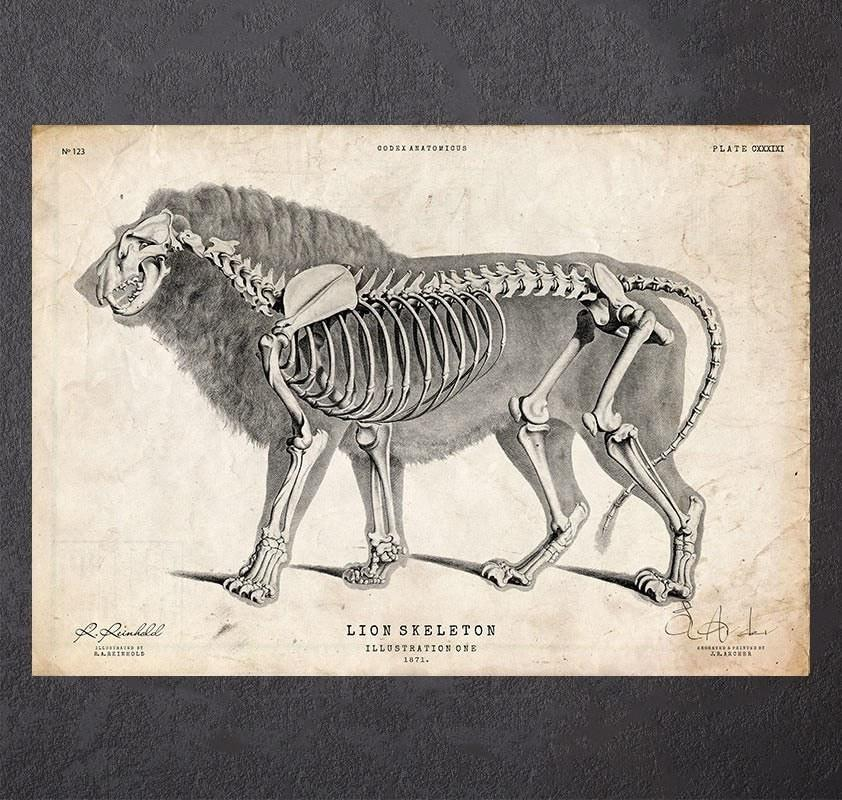 Lion anatomy art print