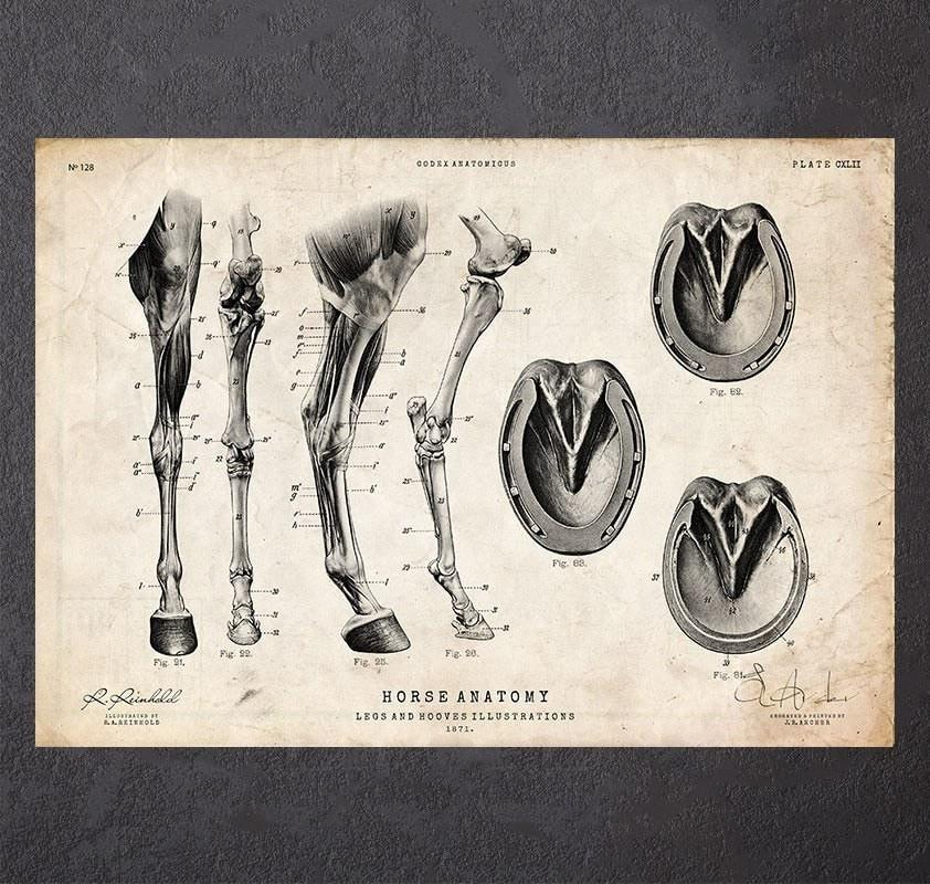 Horse legs and hooves anatomy poster - Codex Anatomicus