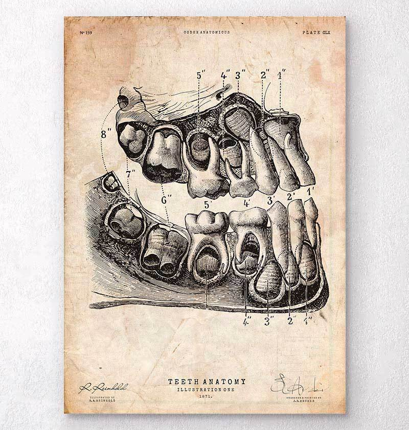 Dental anatomy art print