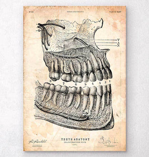 Gifts for dentists - teeth anatomy art print