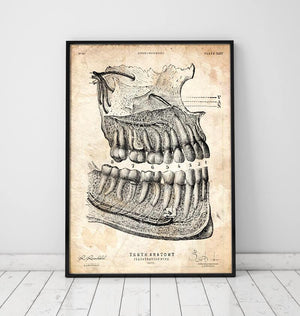 Vintage dental anatomy poster - Dental Anatomy - Codex Anatomicus