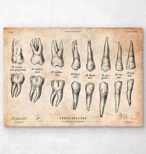 Teeth anatomy chart