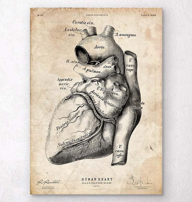 Heart anatomy poster - Codex Anatomicus