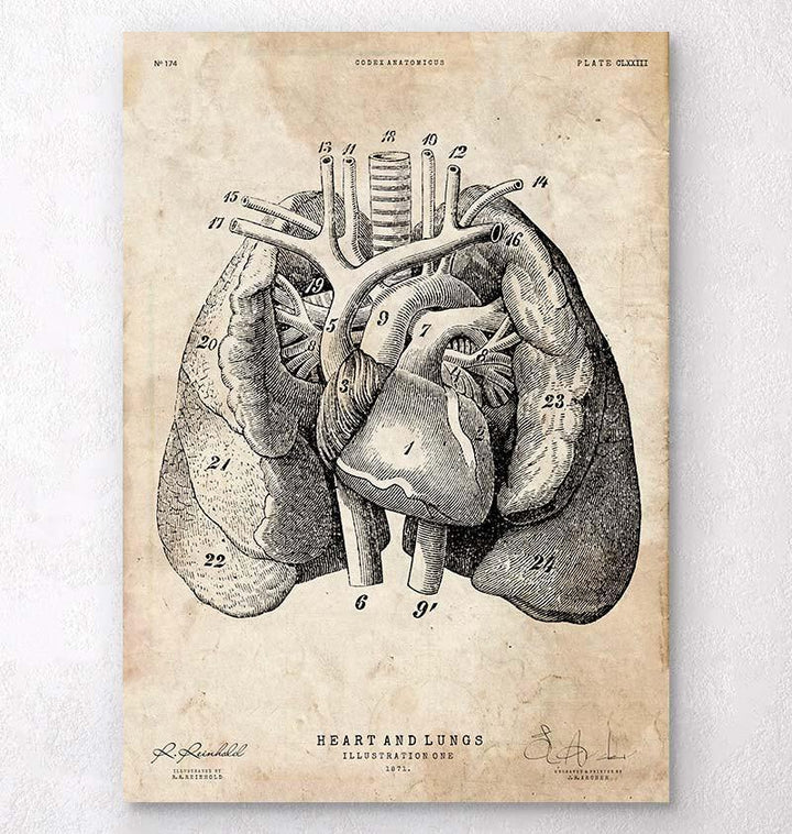Heart and Lungs anatomy art