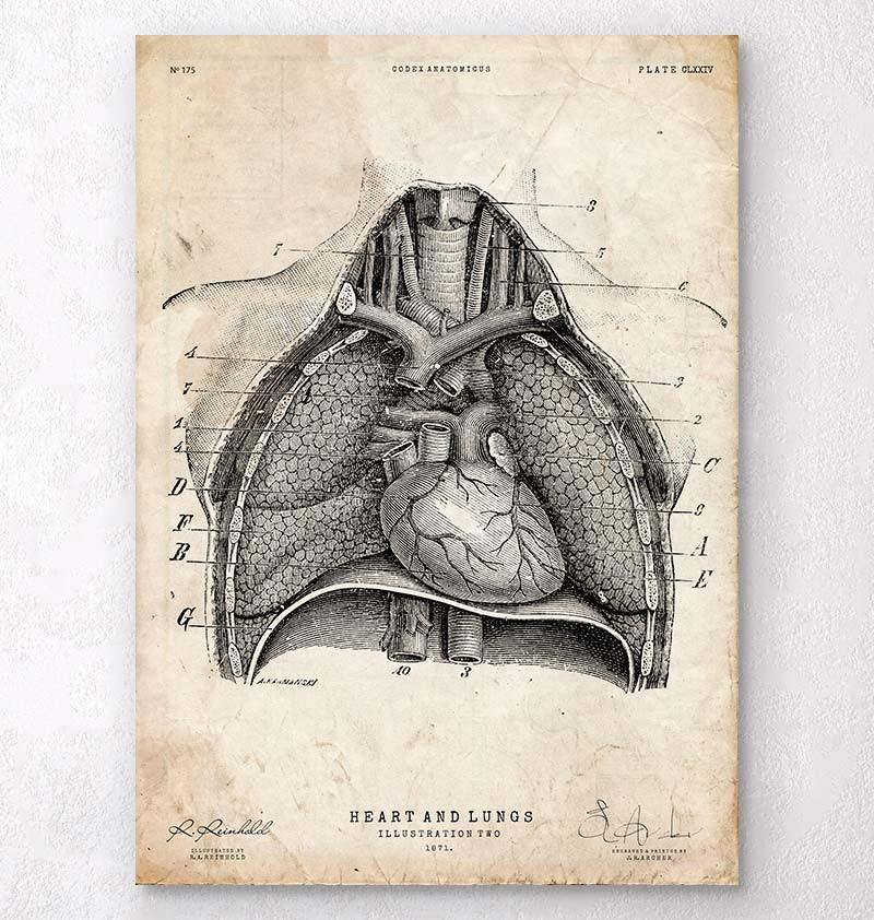 Heart And Lungs Anatomy Art Ii Codex Anatomicus