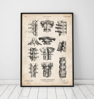 Spine anatomy poster by Codex Anatomicus