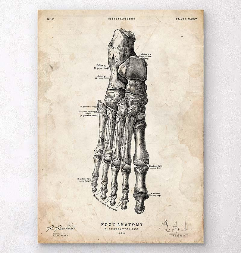 Foot anatomy art print II - Codex Anatomicus