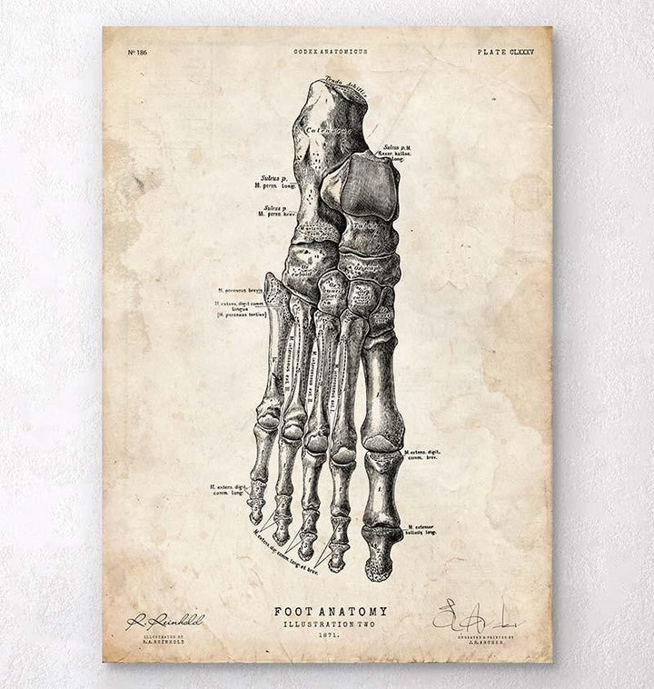 Foot anatomy art
