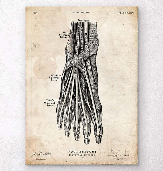 Leg and Hand Anatomy - Anatomy Art - Codex Anatomicus Tagged \