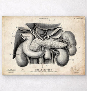 Pancreas, liver and gallbladder anatomy poster