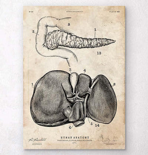 Pancreas and liver anatomy poster