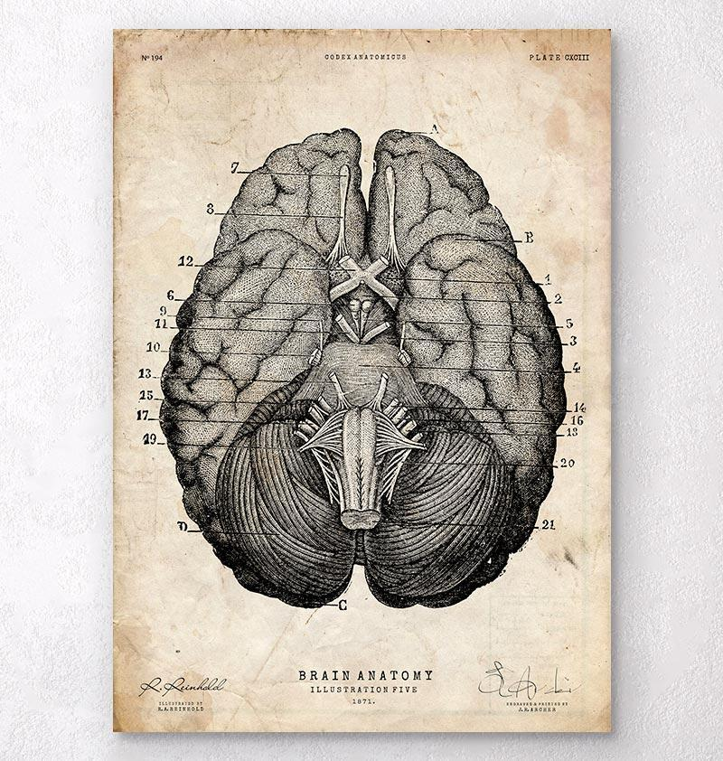 Brain sections anatomy poster - Codex Anatomicus
