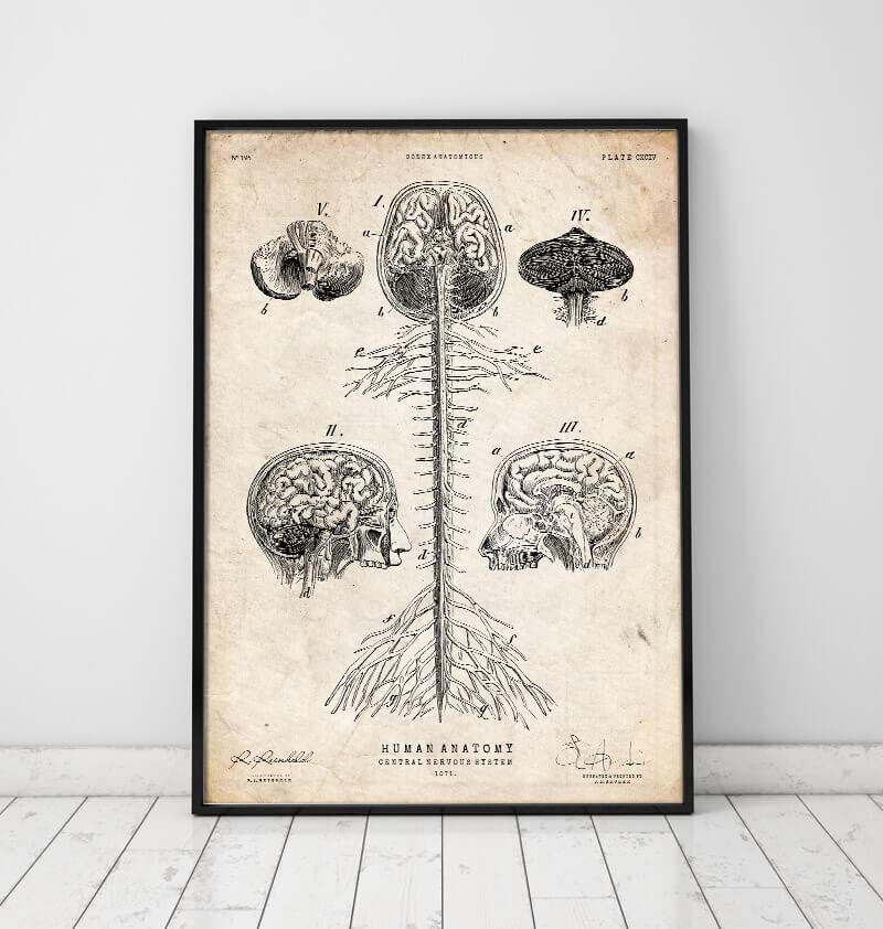 Central nervous system vintage anatomy poster - Codex Anatomicus
