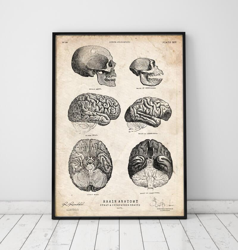 Human & chimpanzee brain vintage anatomy poster in a frame