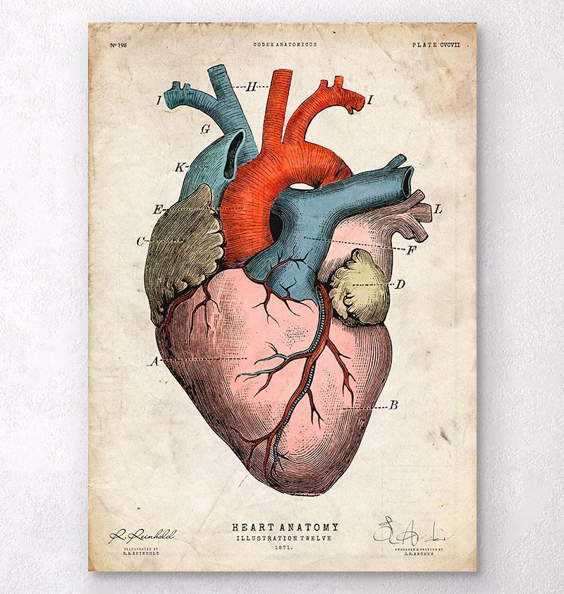 Anatomical heart art print - Colored - Codex Anatomicus
