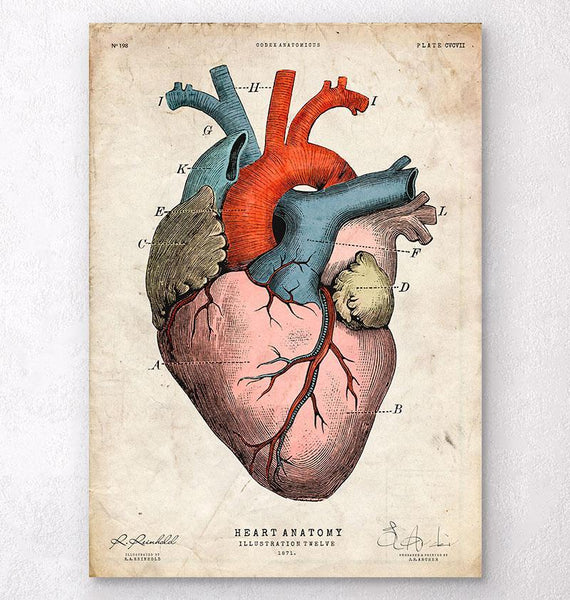 Heart Anatomy - Anatomy Art - Codex Anatomicus