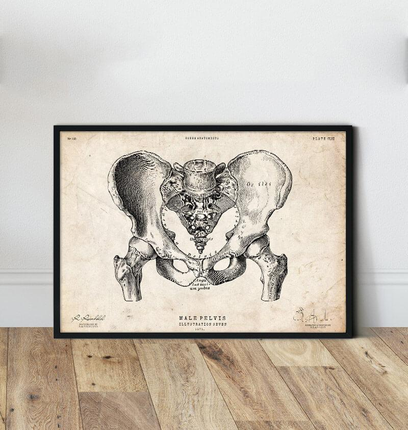 Male pelvis vintage anatomy poster in a frame by codex anatomicus