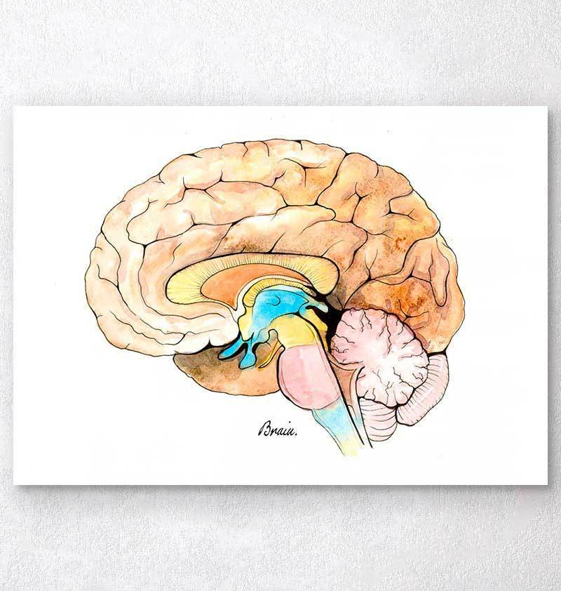 Watercolor brain anatomy art print