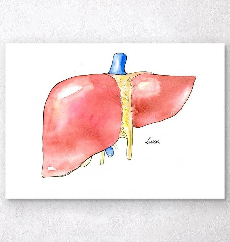 Liver anatomy medical art print - Codex Anatomicus